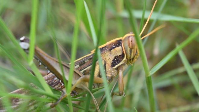A praga bíblica dos gafanhotos voltou com força total à África Oriental depois que ONGs passaram a promover a agricultura ecológica, sem pesticidas.