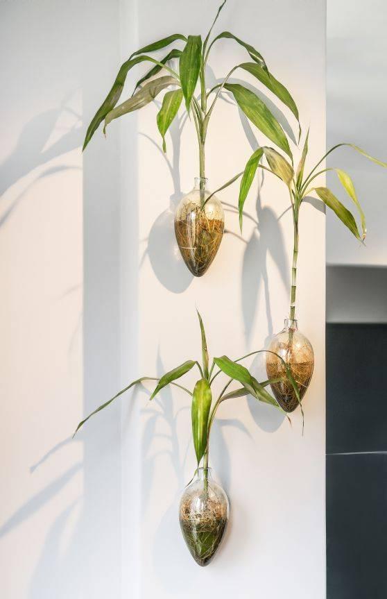 Bambu-da-sorte é uma espécie que sobrevive com as raízes na água. Foto: Letícia Akemi/Gazeta do Povo