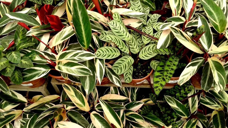 Diversas plantas dos gêneros Maranta e Calathea são consideradas rezadeiras, com cores e texturas únicas. Foto: Trama Paisagismo/Divulgação