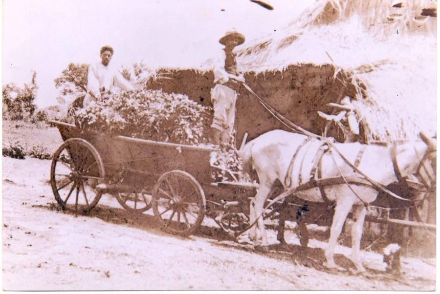 Carroça carregada de erva-mate descendo a Serra do Mar. Foto: Divulgação/ Fundação Cultural de Curitiba