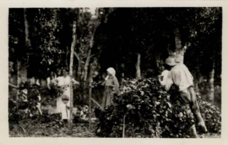 Preparação de feixes da erva-mate para o sapeco. Foto: Acervo Casa da Memória