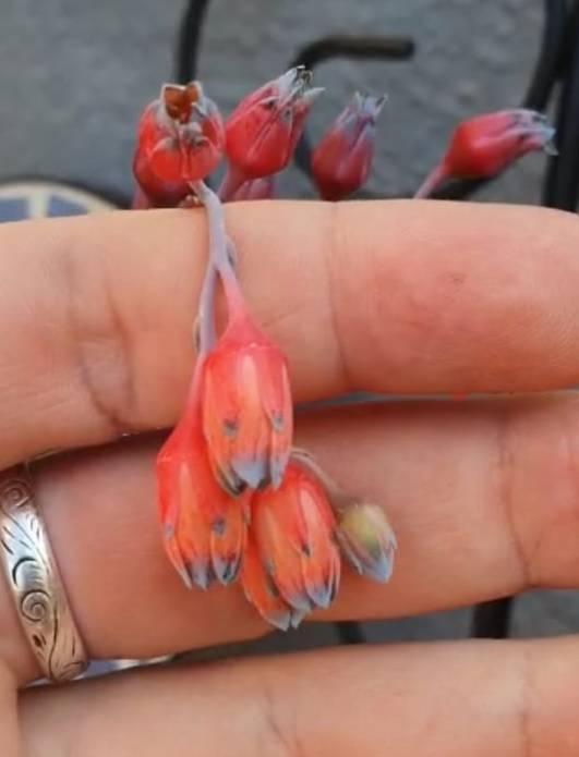 Flores lindas e coloridas brotam da suculenta diamante. Foto: Um Botânico no Apartamento/Reprodução