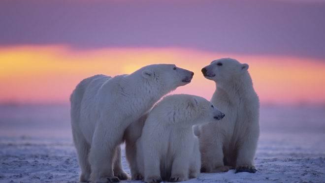 Família de ursos polares no Ártico