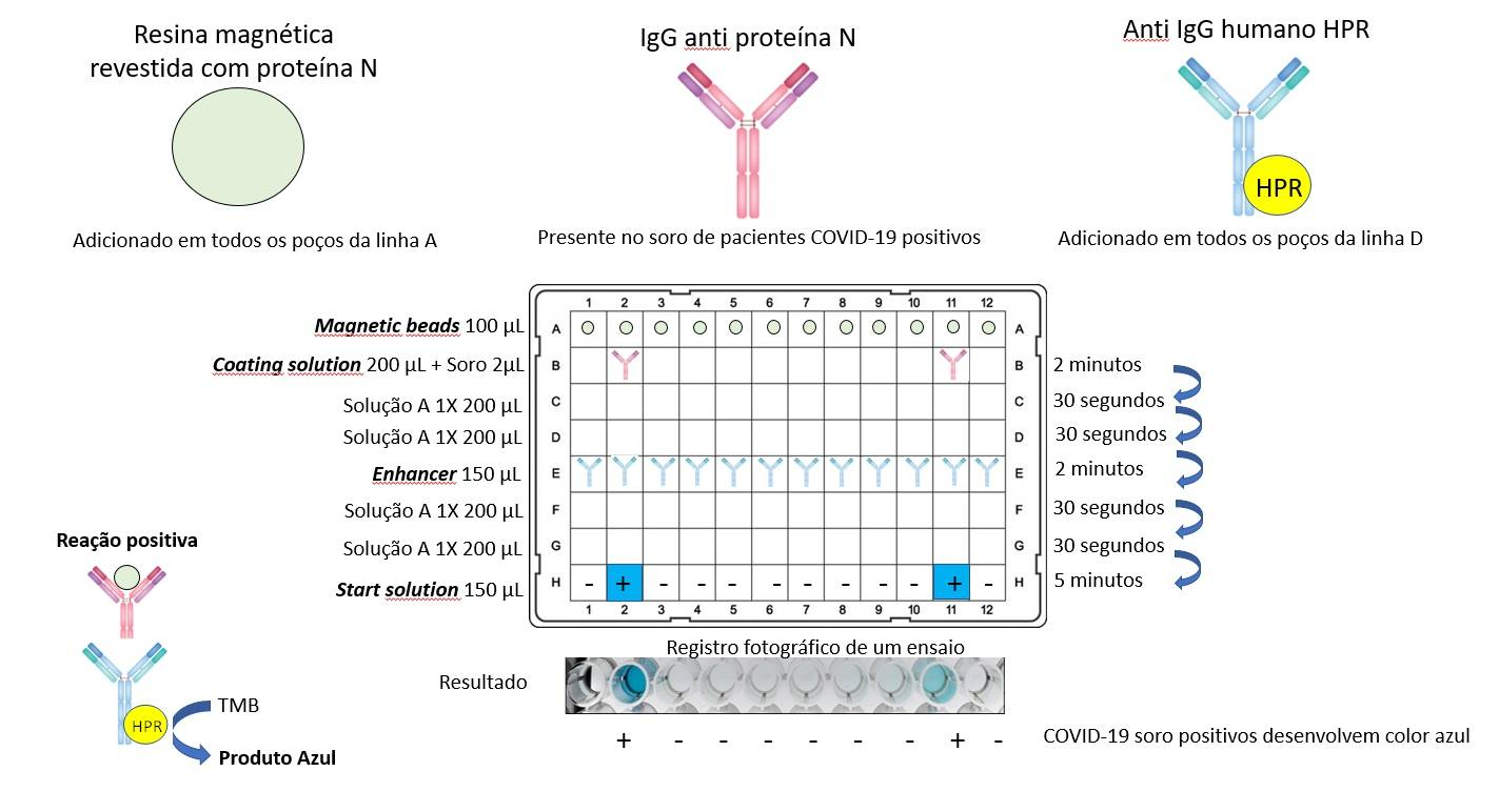 Procedimento para detectar anticorpos do SARS-COV-2 desenvolvido na UFPR: ELISA cromogênico baseado em esferas magnéticas. Componentes de reação e diagrama da reação e distribuição dos componentes em uma placa de 96 poços. As amostras positivas desenvolvem uma coloração azul na linha H devido à formação de um complexo ternário entre o antígeno, o anticorpo primário e o secundário HPR. Registro fotográfico de ensaio típico. H2 e H12, soro de dois pacientes confirmados por PCR (leve e grave, respectivamente). Demais amostras soro de controles negativos.