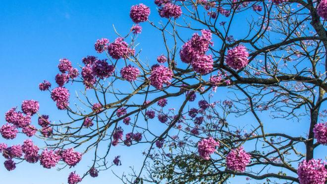 Nas ruas, o fim do inverno e chegada da primavera tem como marca o aparecimento dos ipês-roxos.