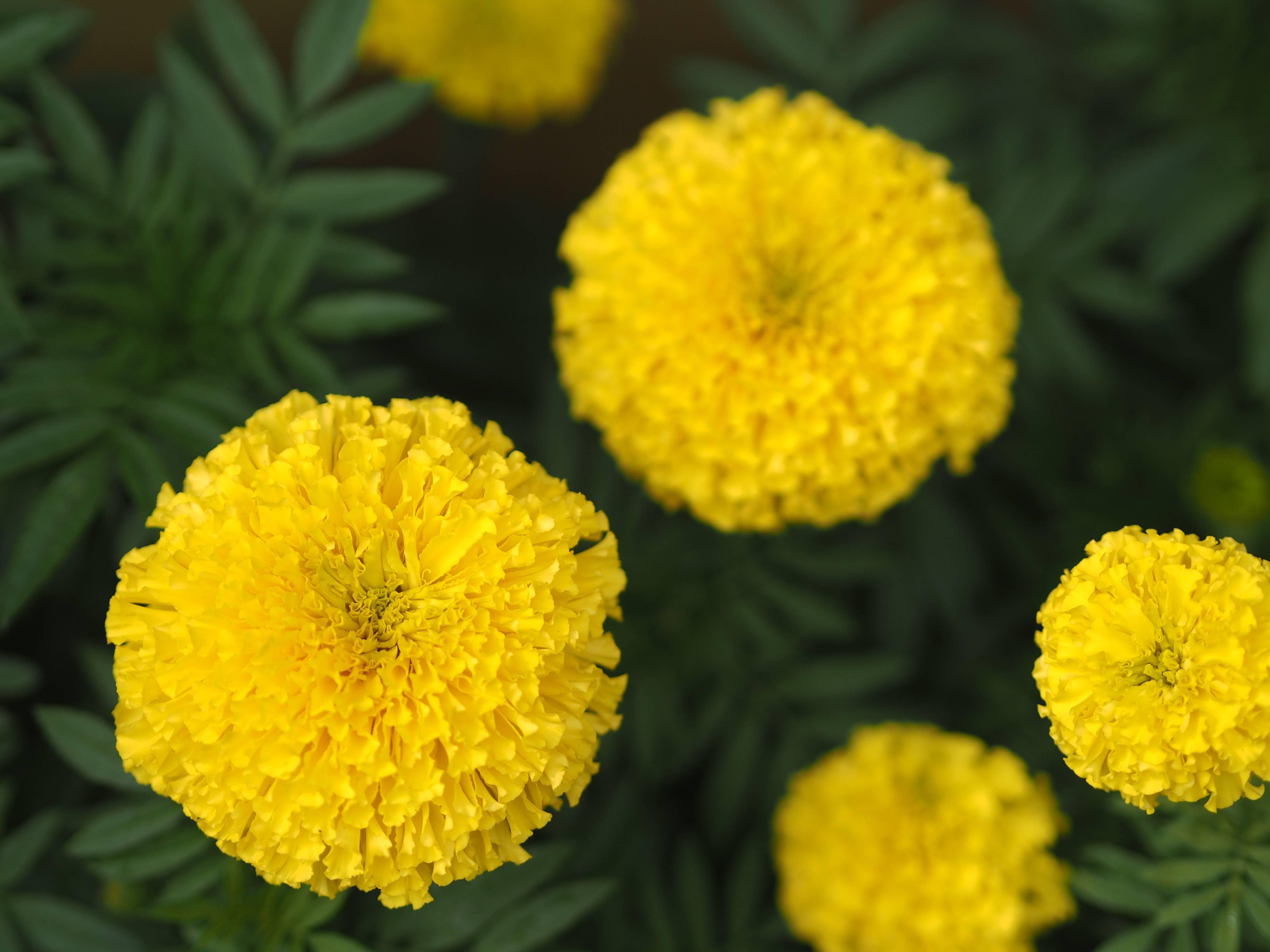 A tagete tem floração exclusiva na primavera.