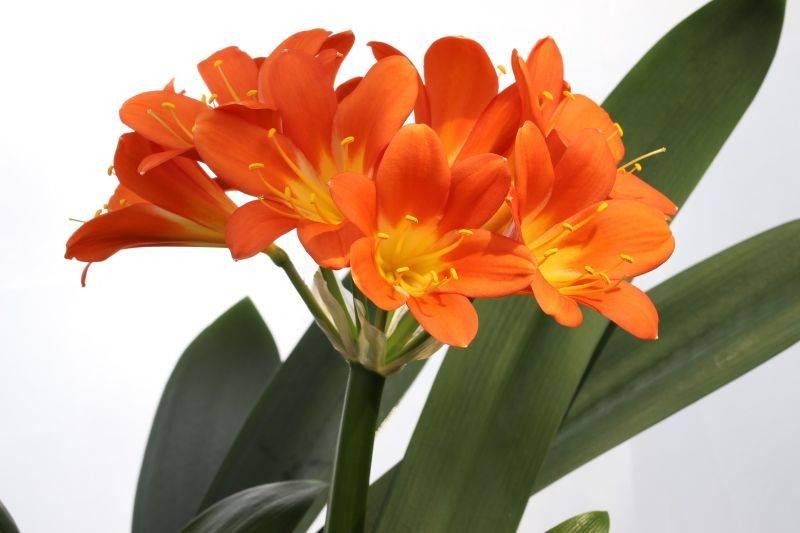 Além do jardim, a clívia também pode ser cultivada em vasos. Foto: Pixaby