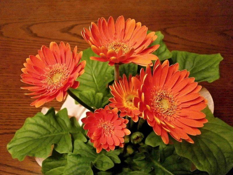 Gérberas são flores de cultivo ou de corte para vasos. Foto: Pixabay
