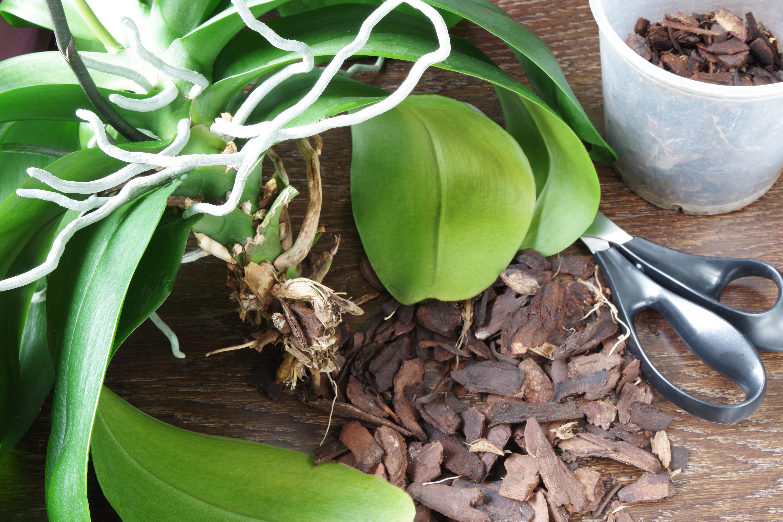 O corte correto ajuda a planta a recuperar a energia e florescer.