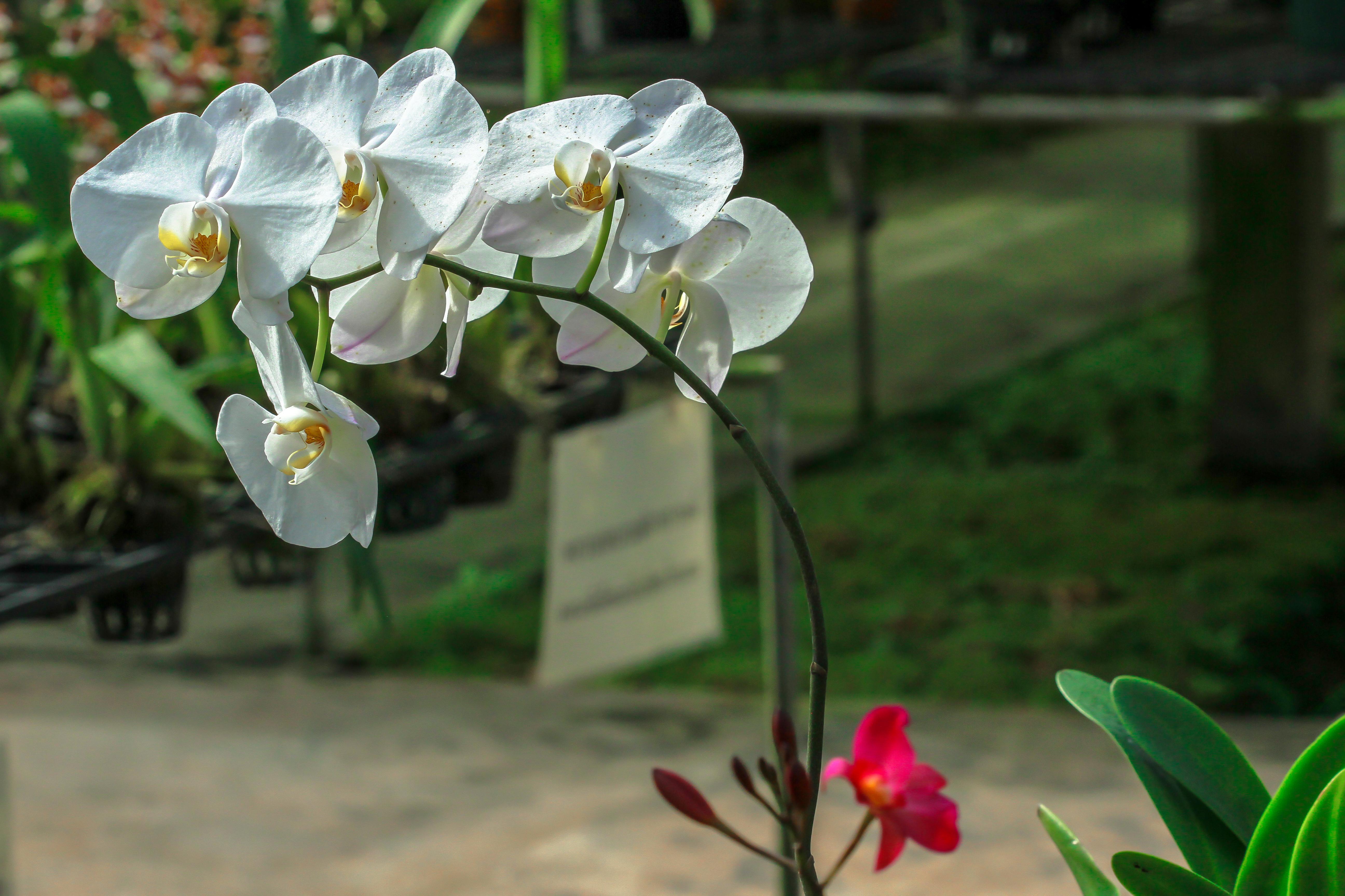 A época de floração das orquídeas depende da espécie – algumas podem florescer por apenas 24 horas por ano.