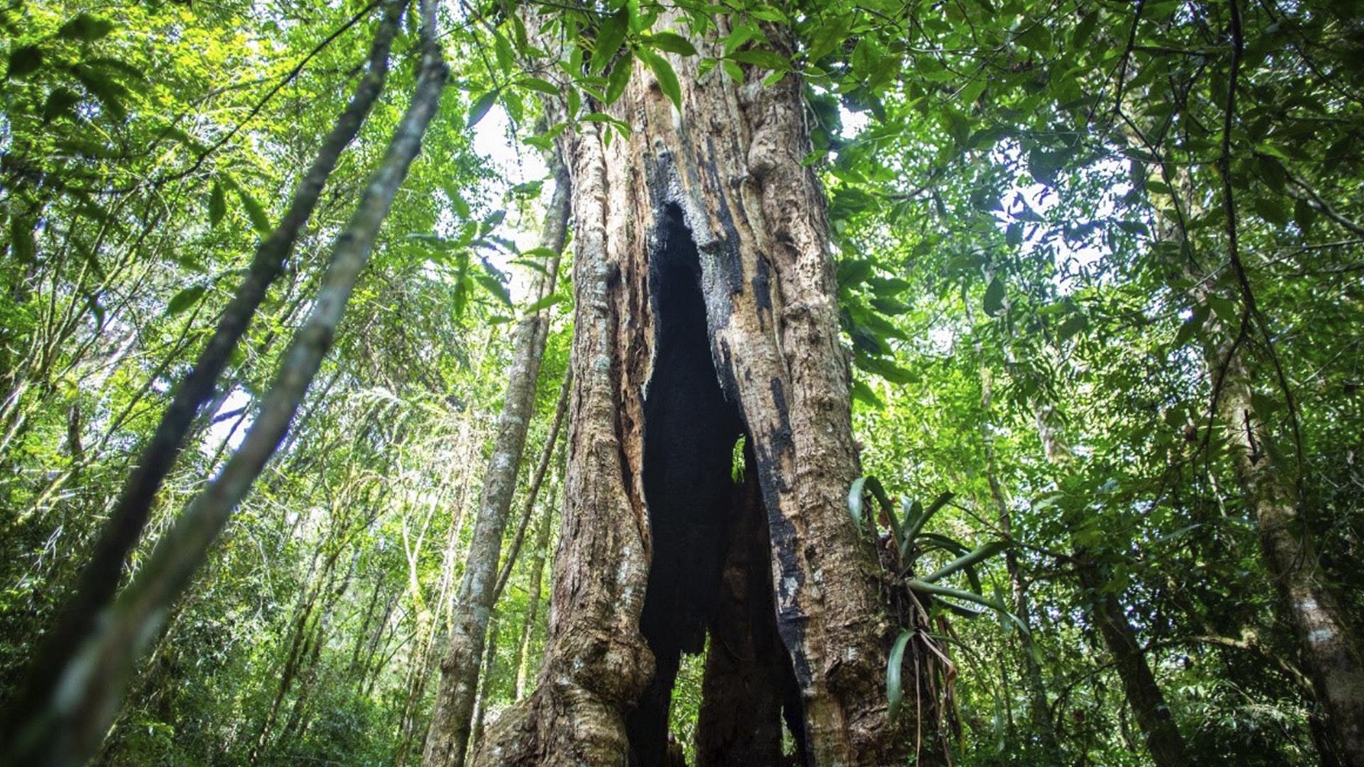 A grande árvore oca teria servido de moradia para um índio que queria proteger a fonte das águas.