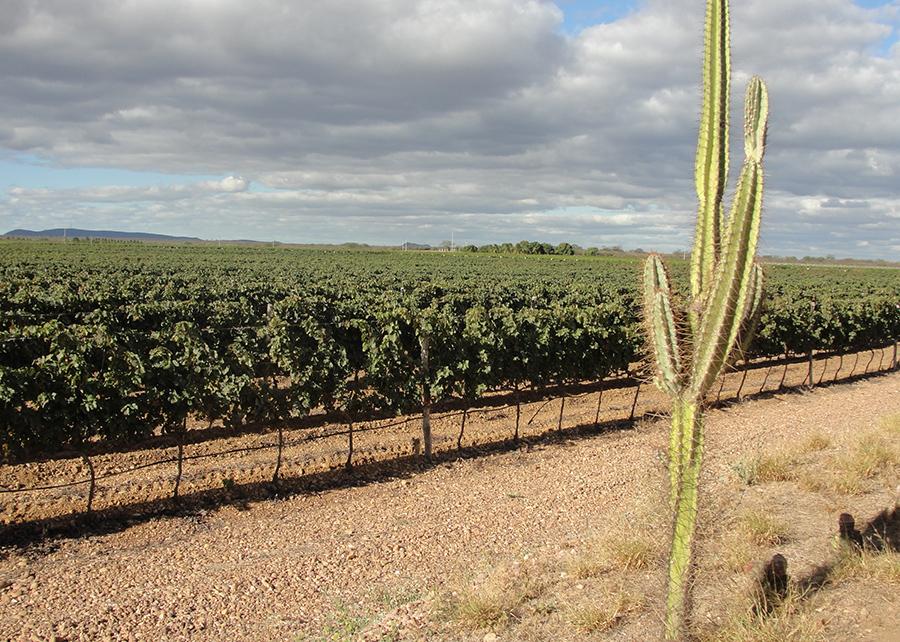 Região será a primeira em todo o mundo a ter vinhos tropicais. Foto: Divulgação/Embrapa