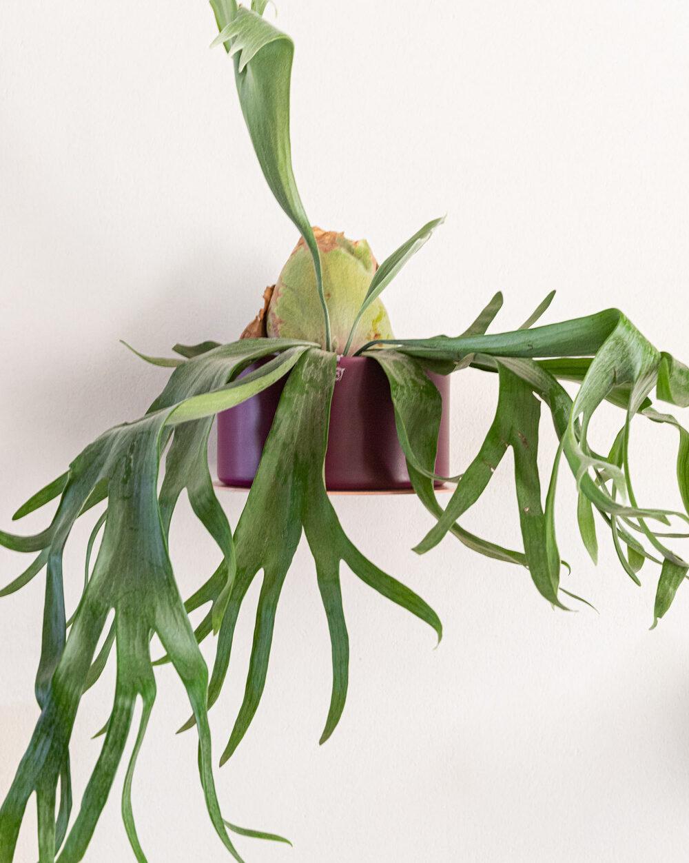Uma das opções é deixar a planta chifre-de-veado como um pendente, da mesma forma que ela fica exposta na natureza.