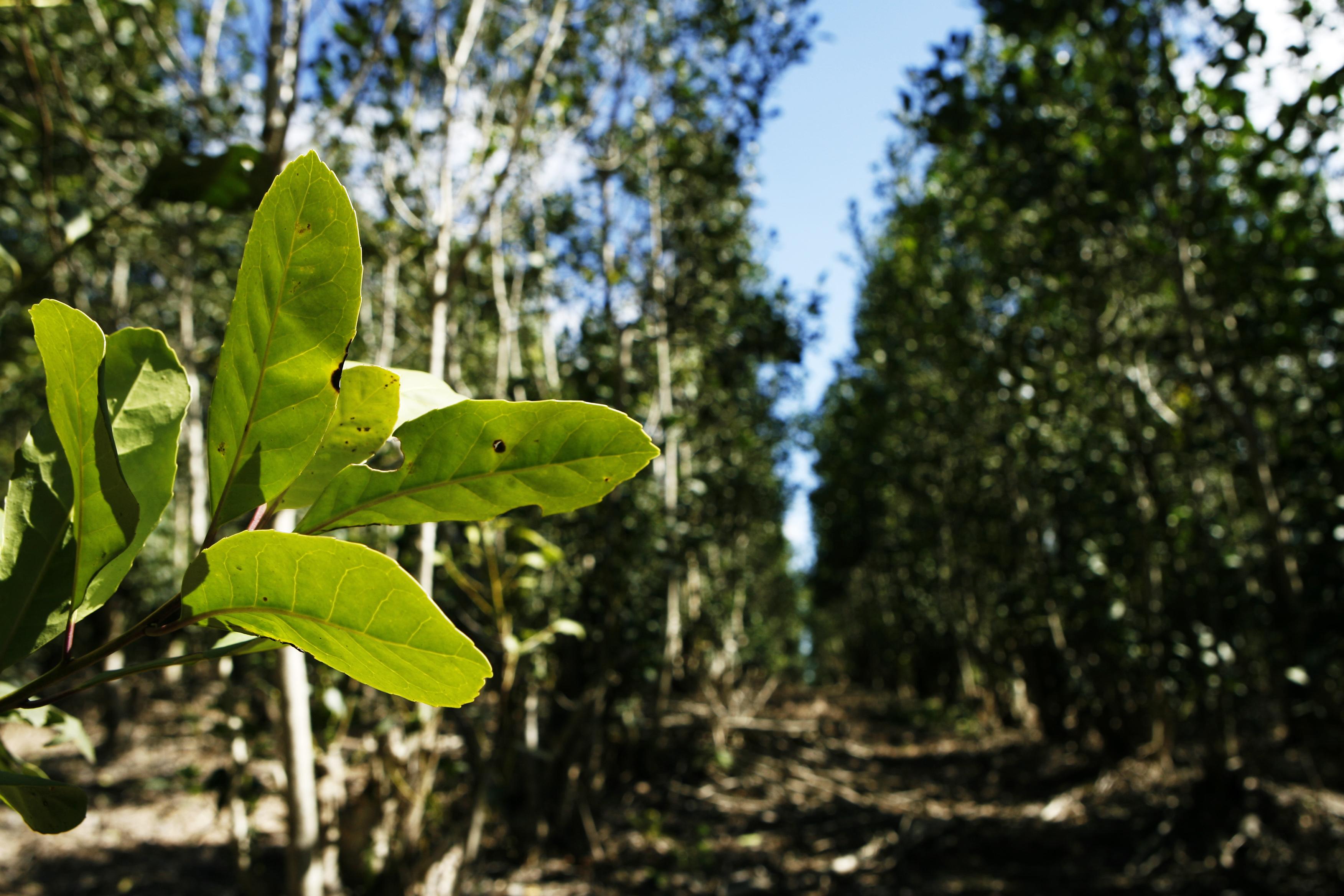 Erva-mate sombreada por mata nativa tem valor mais alto de mercado e resulta em bebida com menos amargor. Na foto, erva-mate em uma das propriedades produtoras da empresa Erva-mate 81, em Guarapuava.