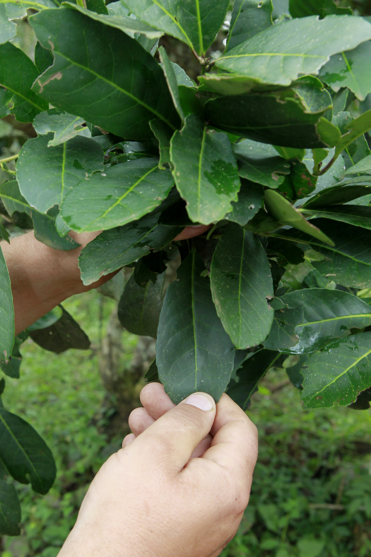 Em até 24h após a colheita, folhas maduras de erva-mate passam por choque térmico, desidratação e trituração