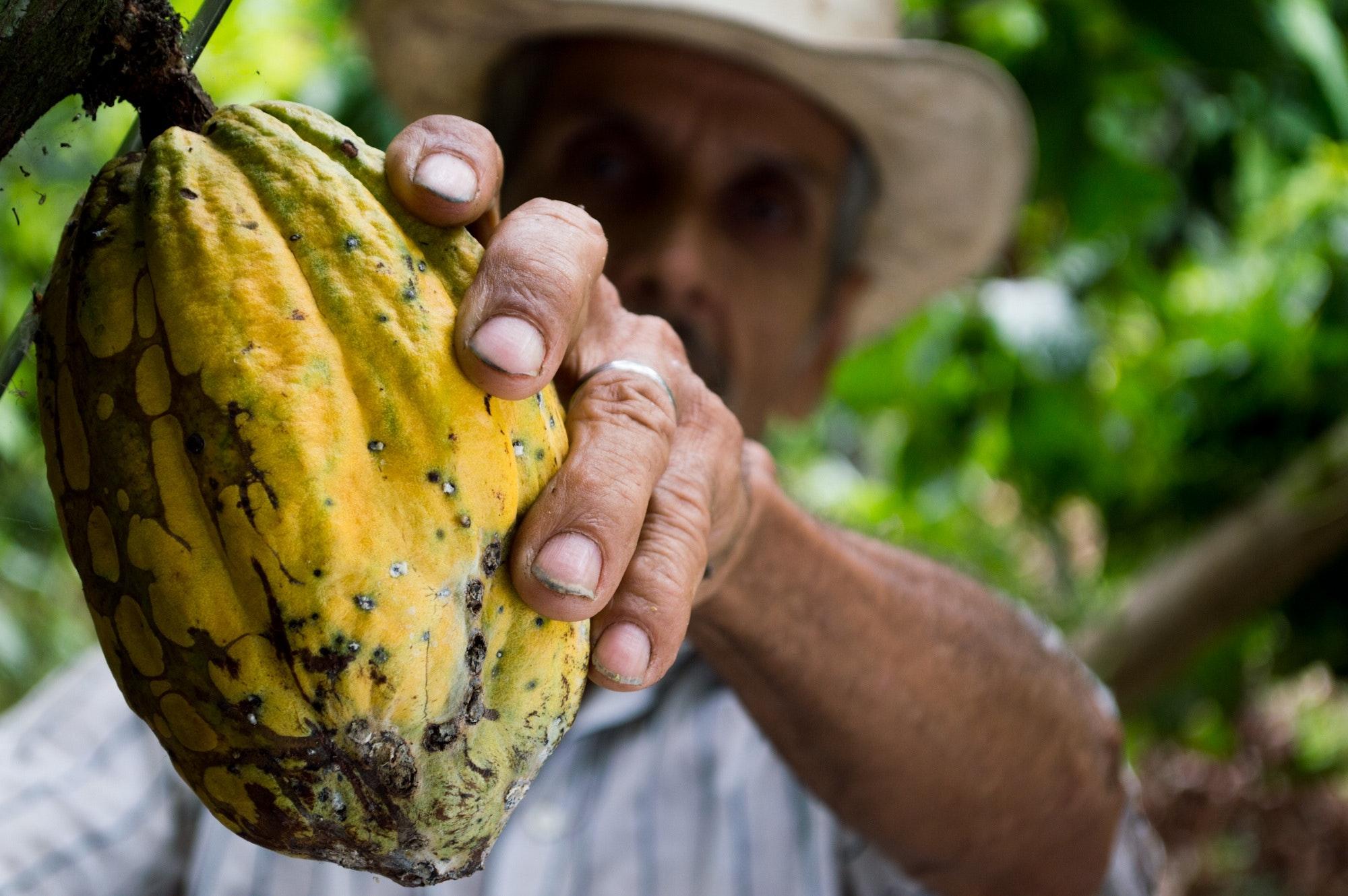 No formato Tree to Bar, os cacaueiros também são produtores de chocolate. Foto: Pizabay.