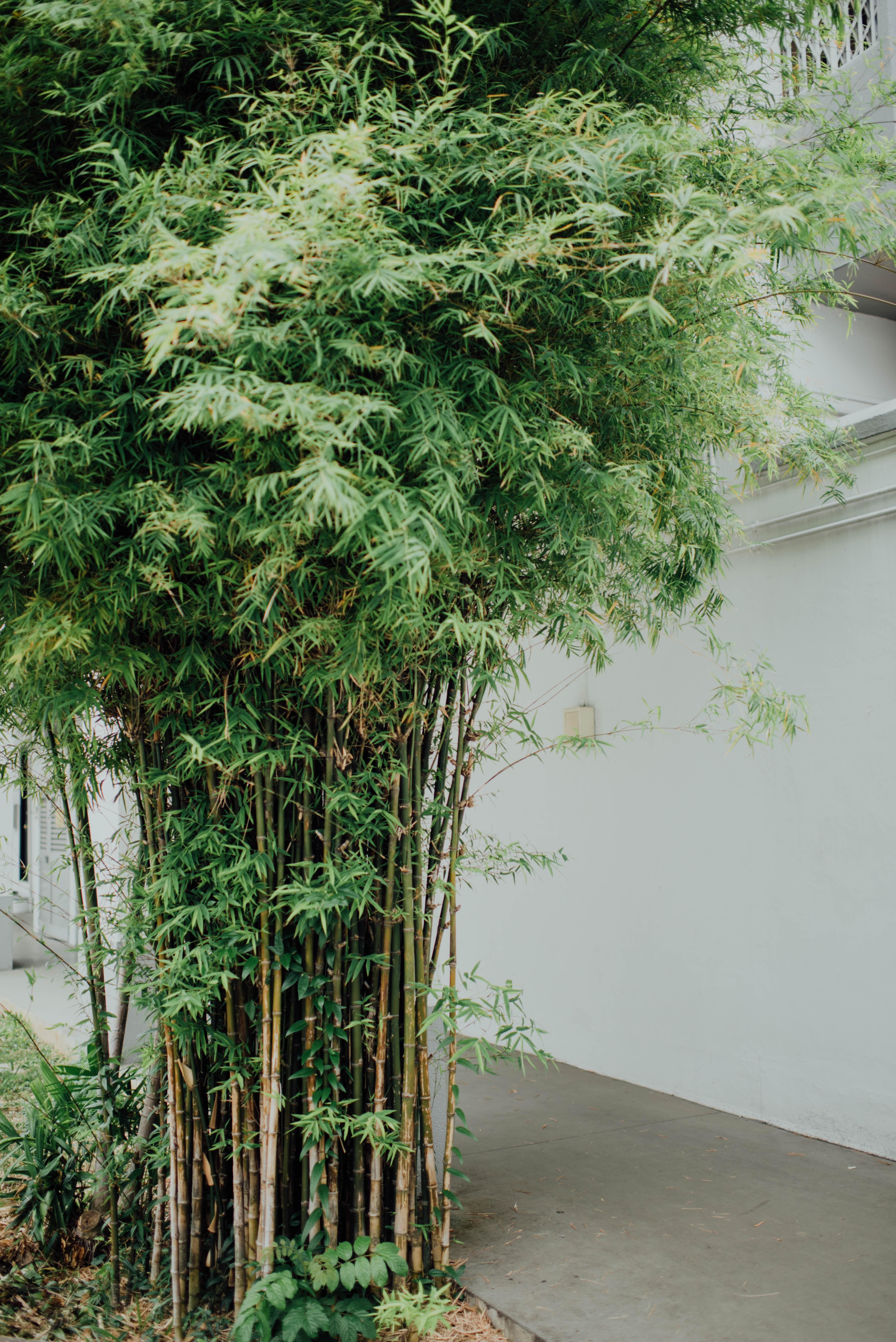 Bambu se propaga com facilidade.