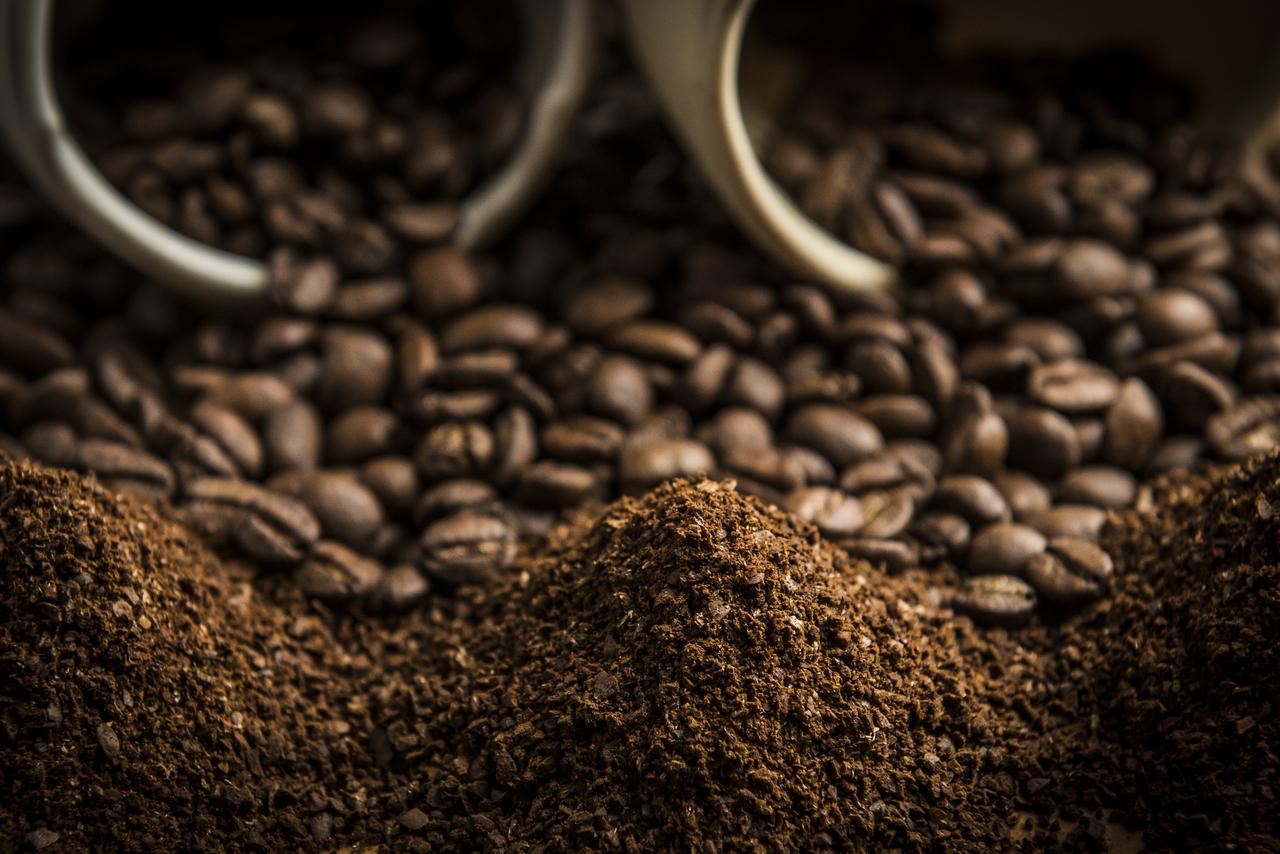 Os grãos de café do Norte Pioneiro são do tipo arábica. Foto: Letícia Akemi/Gazeta do Povo