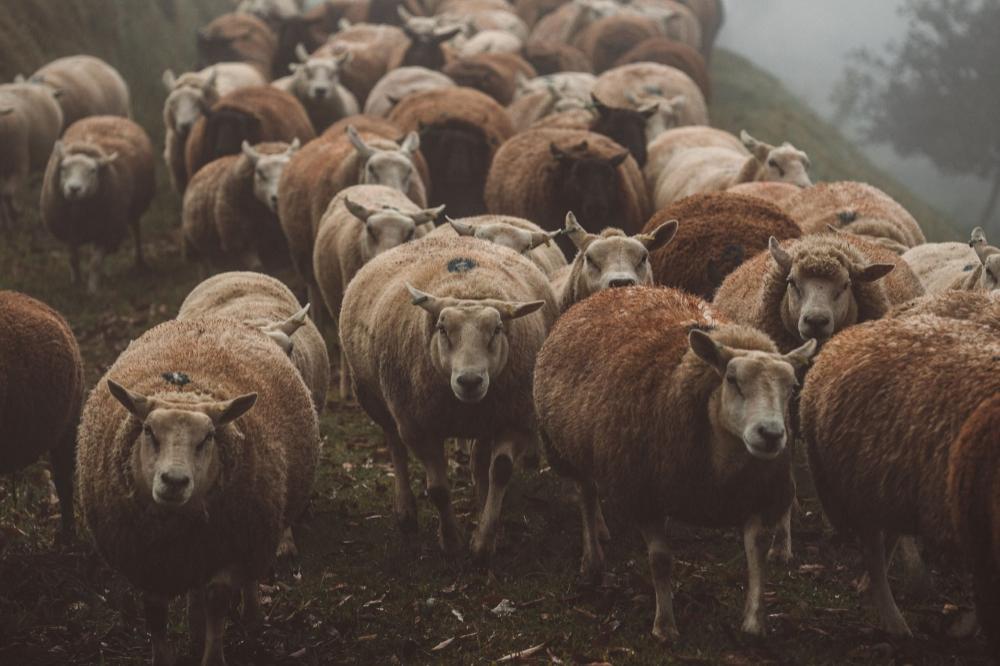Na Cabanha Maré, a criação de carneiros passou de hobby a negócio.