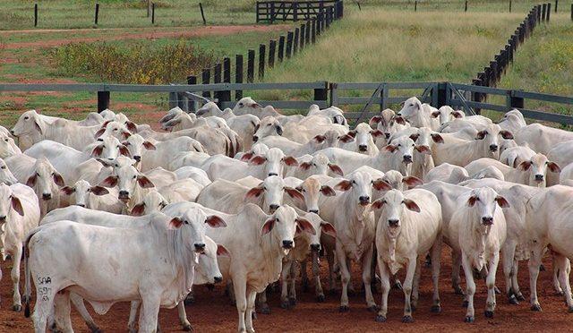 """Proibido de """"importar"""" gado para engorda, PR enfrenta crise da falta de bezerros"""