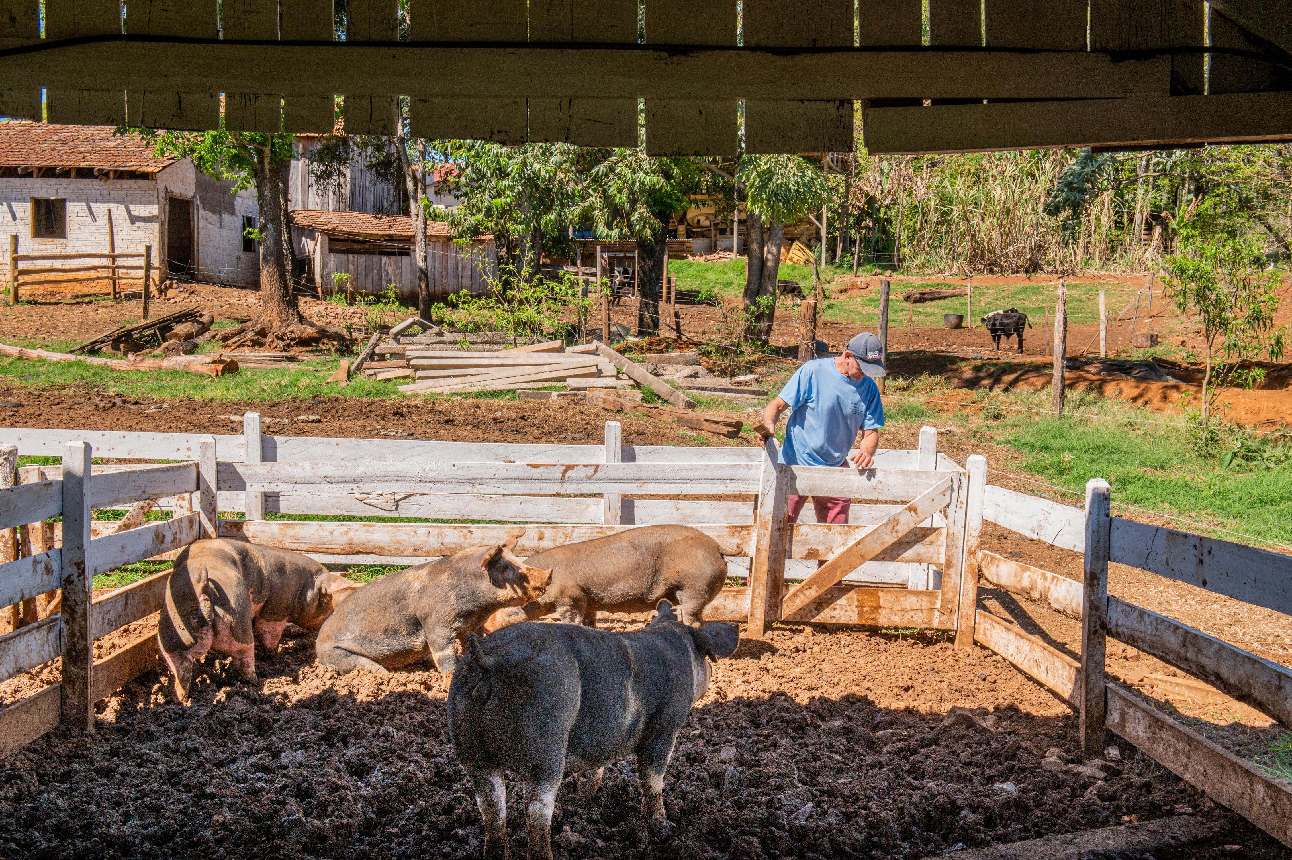 Os porcos do projeto Santan são criados de maneira natural, com alimentos orgânicos. Foto: Divulgação