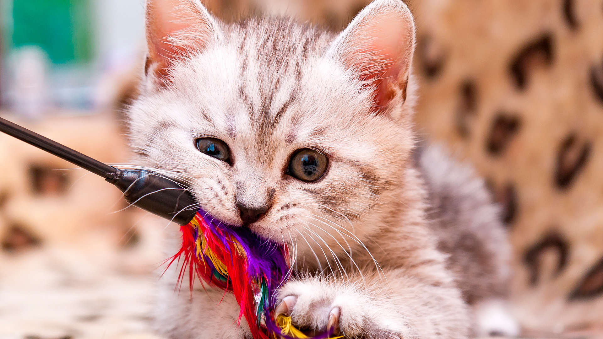 Os gatinhos emitem sinais antes de morder.