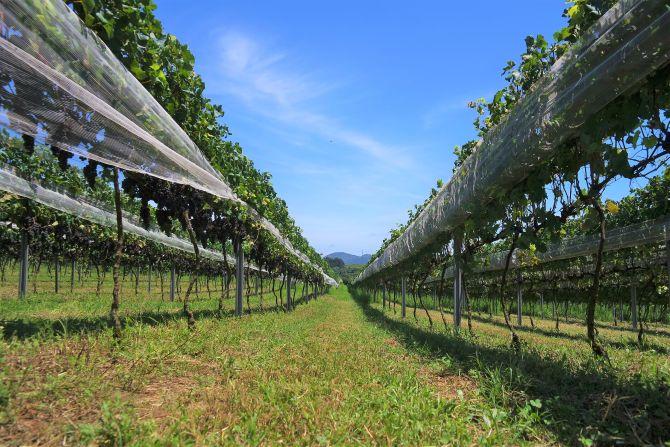 A vinícola tem 4,8 hectares de vinhedos. Foto: Divulgação.