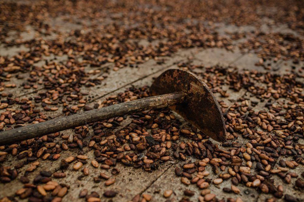 Do cacau commodity ao chocolate fino, produtores do sul da Bahia tiveram que se reinventar:Foto: Ana Lee/Divulgação.