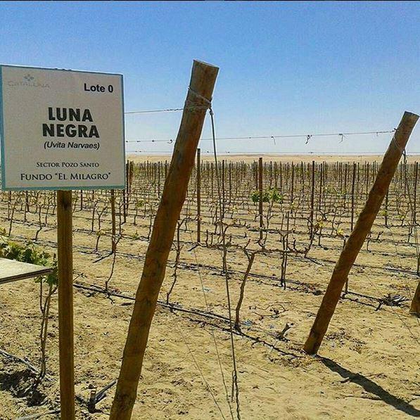 Uva Luna Negra, autóctona do Peru, cultivada no deserto de Piracas. Foto: Reprodução/Instagram
