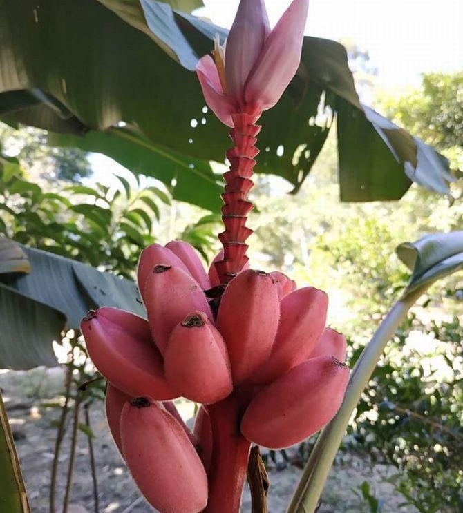 Assim como a versão de casca azul, a banana-vermelha é muito doce e cremosa. Foto: Reprodução Instagram / lacows