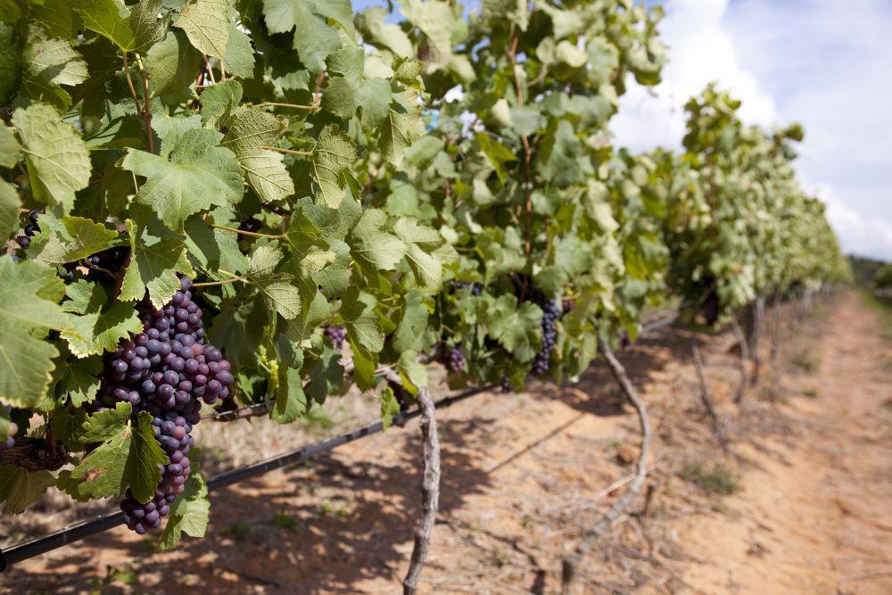 As uvas passam por uma dupla poda, onde os primeiros frutos são erradicados assim que começam a se desenvolver. Foto: Tuca Reines/divulgação.