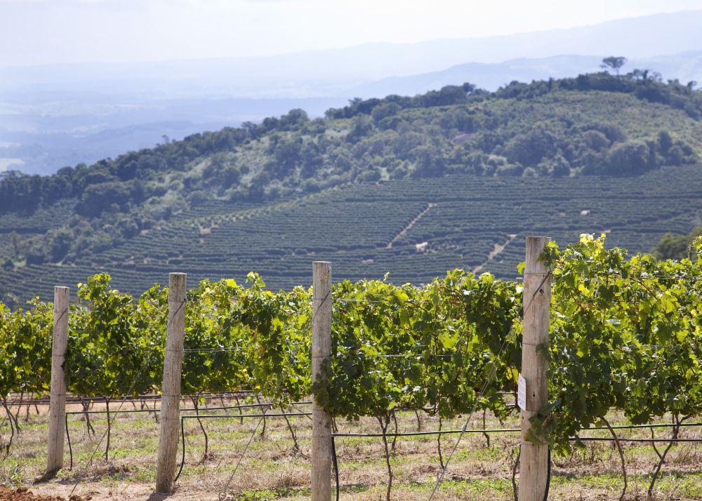 Os vinhedos da vinícola estão a 1.300 metros de altitude, na Serra da Mantiqueira. Foto: divulgação.