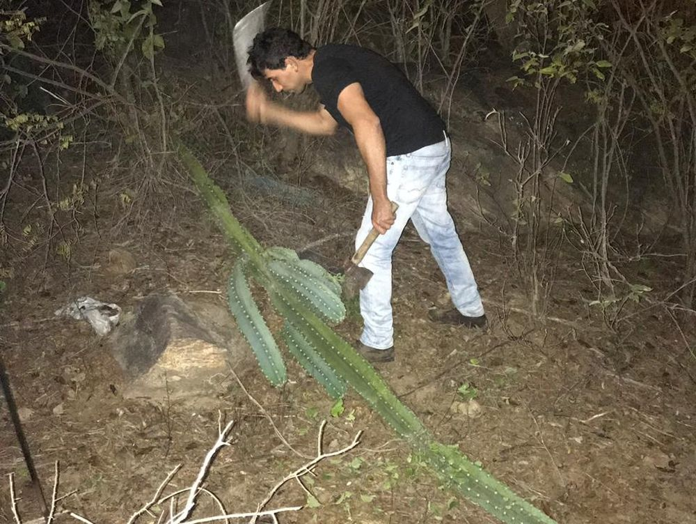 O próprio Tiago foi à campo colher os primeiros cactos utilizados na produção da cerveja. Foto: acervo pessoal.