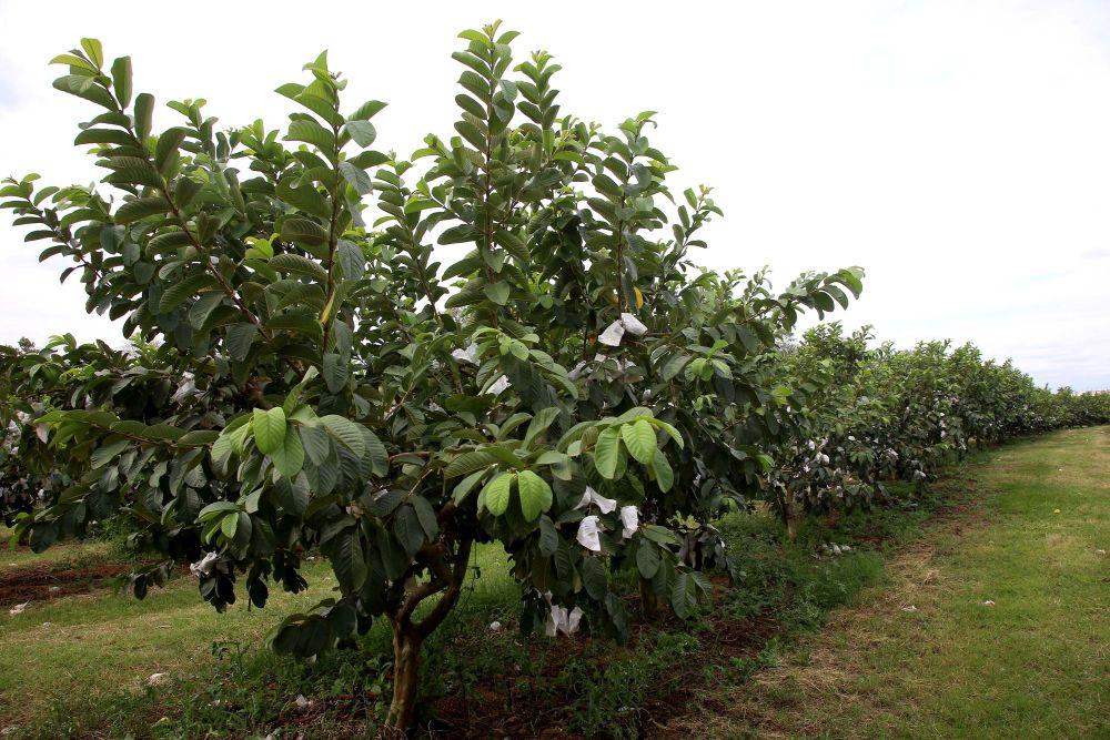 A plantação de goiabas em Carlópolis já soma 850 hectares. Foto: Jaelson Lucas/AEN divulgação.
