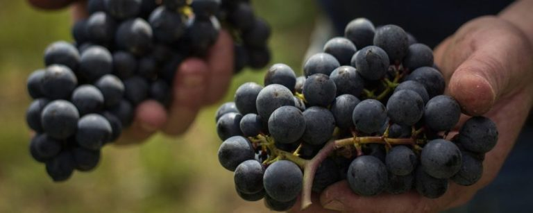 Fevereiro é mês de festa da uva no Paraná: confira três eventos