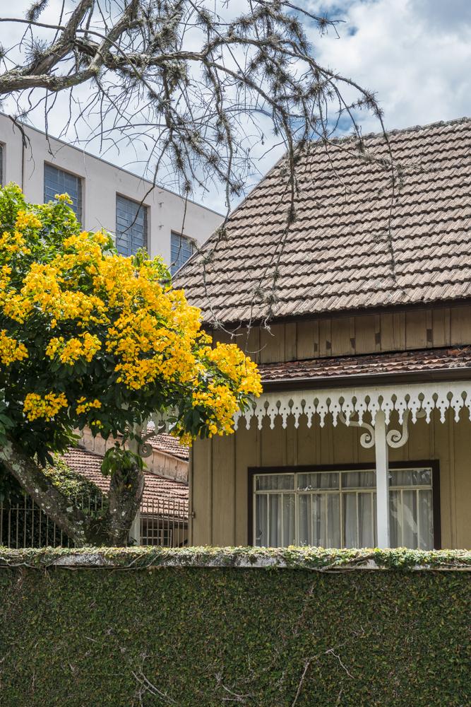 Conheça a árvore que está colorindo Curitiba nas últimas semanas de verão