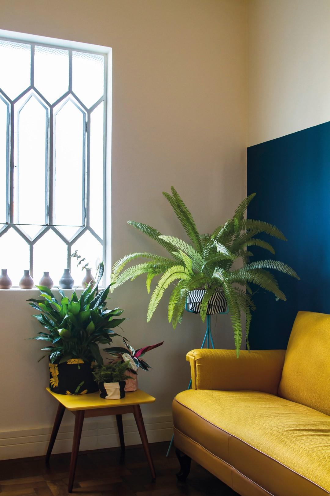 A pequena samambaia-havaiana é a escolha certa para ambientes reduzidos. Foto: Ana Gabriela Amorim / Gazeta do Povo.