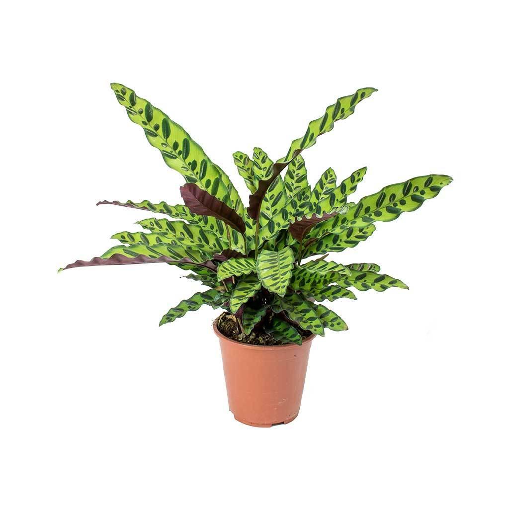 Conheça e saiba como cuidar das plantas que rezam