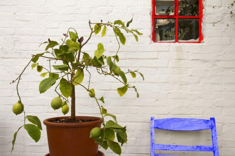 Limoeiro é uma das espécies que podem ser cultivadas em vasos. Foto: Pixabay.