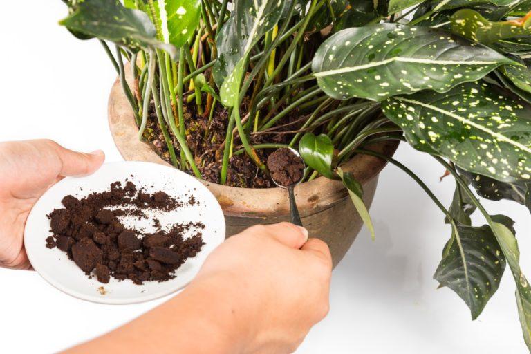 Borra de café pode ser uma ótima aliada para o desenvolvimento das plantas. Mas deve ser usada com parcimônia. Foto: Bigstock