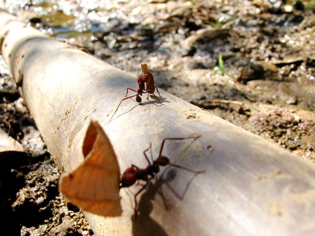 A busca por alimentos organiza as rotas das formigas.   Foto: Freeimages