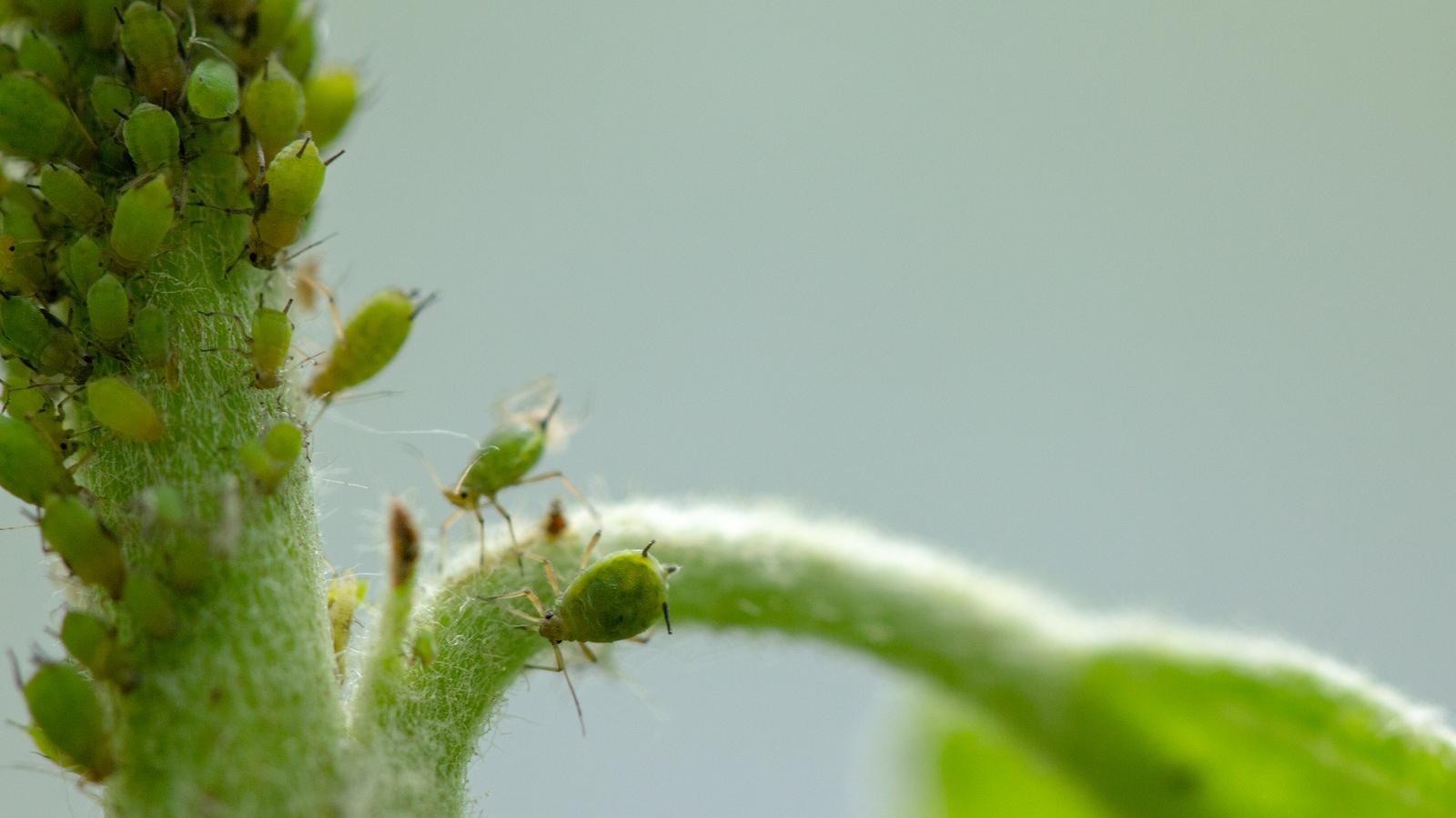 Pulgões: além de verde, esses insetos podem ser de cor amarela, preta ou marrom. Foto: Bigstock