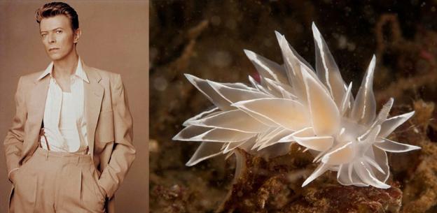 Camaleão ou nudibrânquio? Foto: bowiebranchia.tumblr