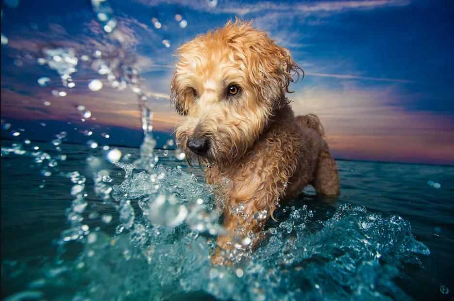 "Primeiro lugar na categoria ""Dogs at Play"". Foto: Kaylee Greer / USA"