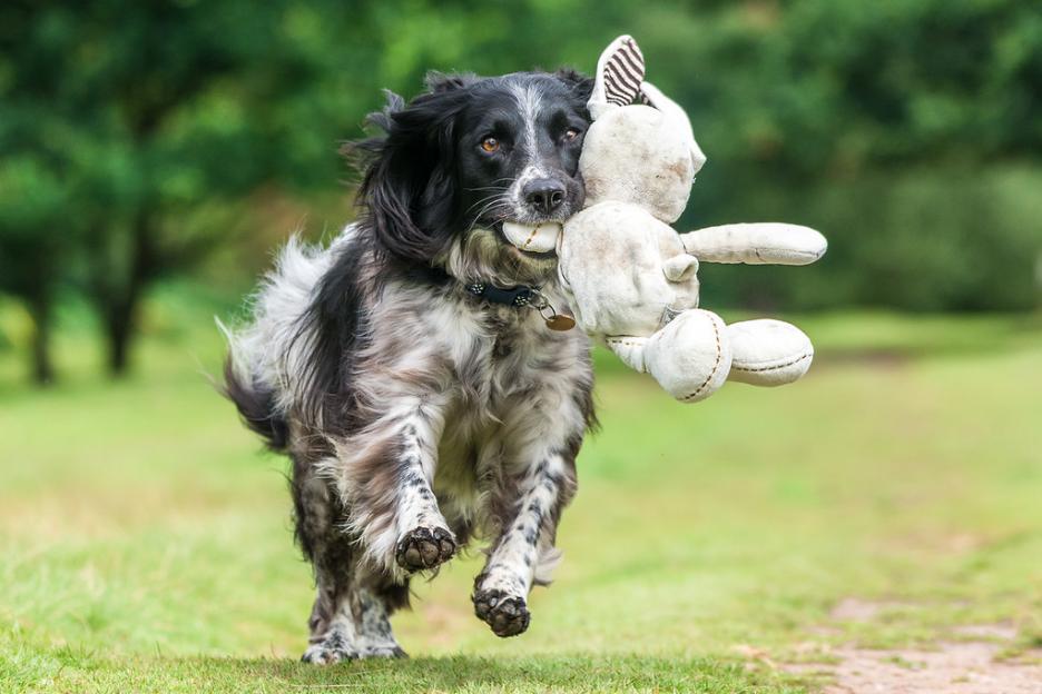"""Terceiro lugar na categoria """"Dogs at Play"""" com o cão Purdey. Foto: Will Holdcroft © UK"""