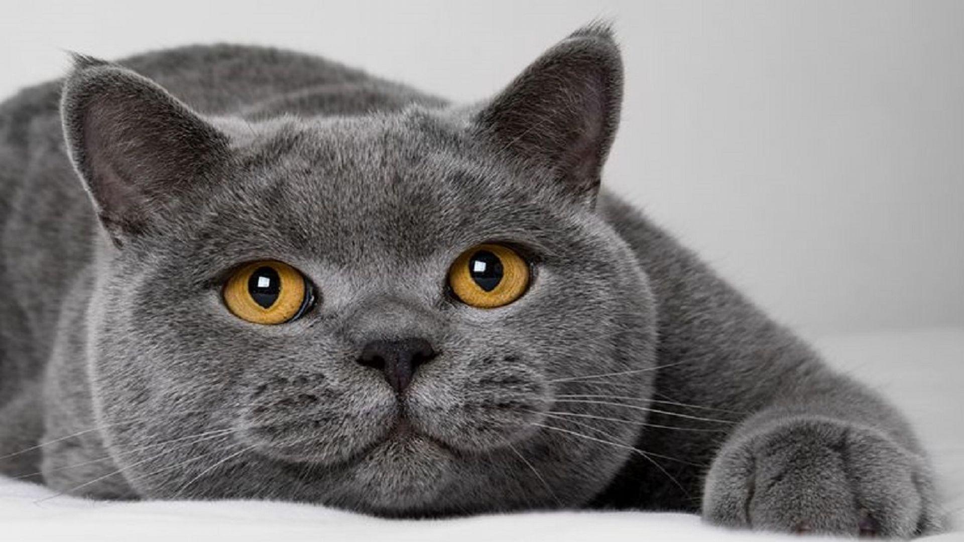 O British Shorthair serviu de inspiração para o gato do filme 'Alice no país das Maravilhas'. Foto: reprodução YouTube.