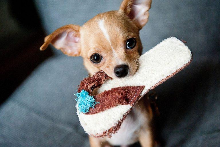 O comportamento destrutivo de alguns cães pode ser reflexo dos hábitos dos tutores em casa. Foto: arquivo Viver Bem/Gazeta do Povo.