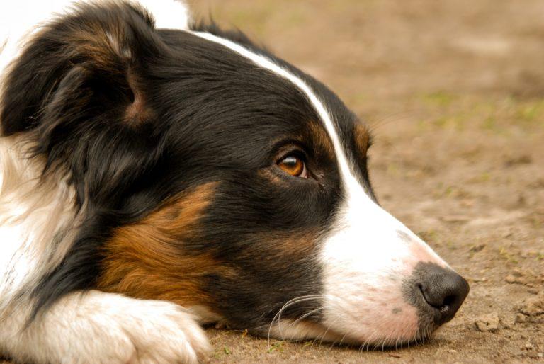 Número de cães border collie abandonados preocupa tutores em Curitiba