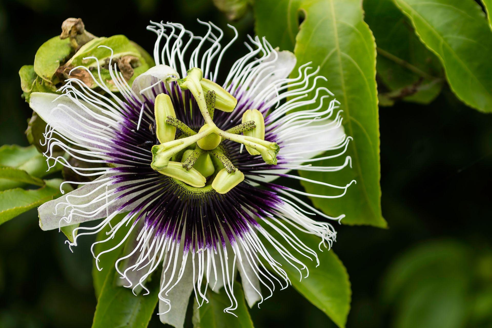 Flor do maracujá. Foto: Evelyn Hullinghorst / Unsplash