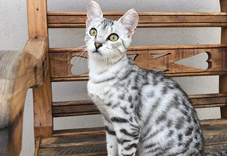 O gato da raça Mau Egípcio virá pela primeira vez à Curitiba. Foto: divulgação.